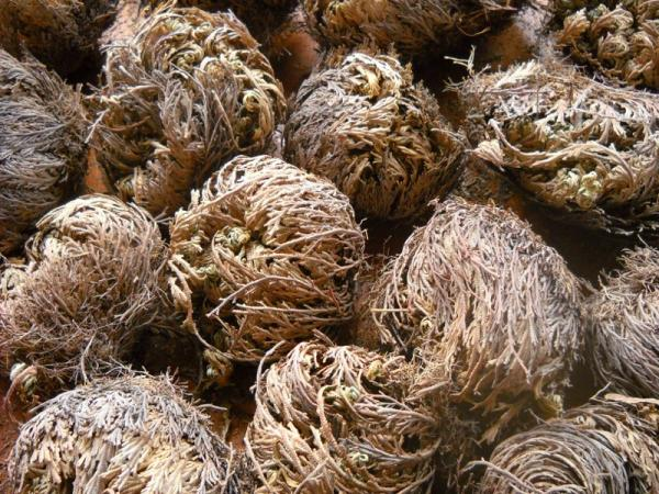 Rose of Jericho Small Bulk Dry
