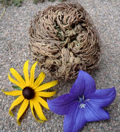 Rose of Jericho plant brown with fresh colorful flowers