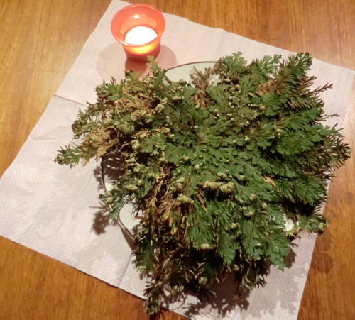 Selaginella lepidophylla plant display with candle