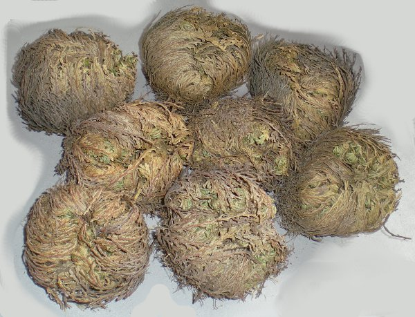 Rose of Jericho Middle Round Bulk Dry